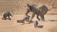 大象带小象过河, 却遭到河马的拦截, 强势驱逐河马上岸!