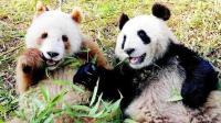 全球唯一的彩色熊猫! 在秦岭被发现, 目前在动物园吃香喝辣谈恋爱