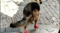 狗子穿高跟鞋, 狗和人总有一个要先疯~