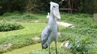 鸟界中的傻狍子, 这一种非常稀有的鸟类到底有多傻?