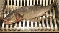 把一条鱼放入粉碎机中, 鱼会是什么下场? 心疼这条鱼一秒钟!
