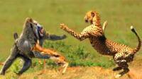 仗义狒狒从猎豹口中救下羚羊, 今天气场两米八!