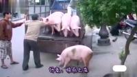 """""""猪一听要去屠宰场做成火腿跑了"""", 老哥追了半天~~"""
