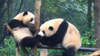 两只熊猫骑棍打架, 谁也不让谁