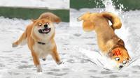 下雪天汪星人摔个狗啃泥! 宠物过冬趣事多!