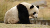 """我国唯一一只被""""退货""""大熊猫, 原因有点搞笑, 网友却纷纷点赞"""