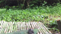 荒野生存 生存哥 原始技术——在丛林里挖山药和烤山药