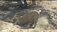 动物世界 之 疯狂的动物豹, 狮子, 猎豹, 老虎在洞外等着野猪