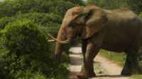 野外探险队在卡里加寻找巨型大象, 网友: 这比动物园的大好多