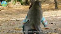 母猴把小女孩当自己的宝宝, 寸步不离还抱着小女孩, 太搞笑了!
