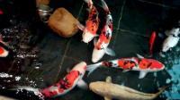 锦鲤美鱼欣赏,小小渔趣4