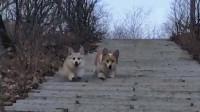 盘点短腿狗子走路画面 太搞笑了