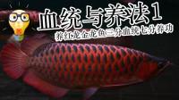 周鱼说鱼 血统与养法(一)养金龙红龙鱼三分血统七分养功 第七期