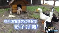 爆笑动物吵架欢乐多, 配上四川话让你笑呵呵, 这配音有趣!