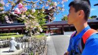 新西兰佛光山里观赏樱花