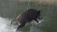 野猪误入玻璃栈道, 瑟瑟发抖, 保安: 没见过这么搞笑的野猪