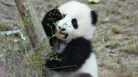 经验老道的饲养员一眼就能看出, 这里有小熊想碰瓷!