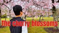 奥克兰观赏樱花四个最好的地方, 新西兰的春天