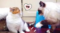 布偶猫总是欺负小伙伴还把玩具藏起来, 主人: 把它赶出去当社会猫