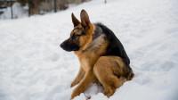 钟楼怪人? 没有脖子的德国牧羊犬! 注定是不凡的狗狗!
