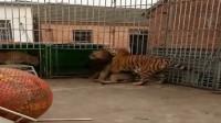 狮子被老虎当成小猫抱在怀里, 真是毫无尊严!