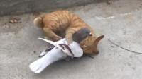 从未见过胆子这么大的鸽子, 连猫咪都敢上去挑衅, 不怕小命不保吗
