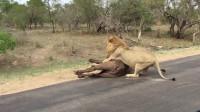 狮子捕食水牛, 路人看到津津有味, 下一秒狮子来到他身边