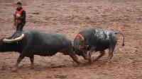菜牛被打跑, 铺里牛王拼了命还在穷追对手, 又是100元三斤肉