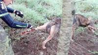 野狼被铁丝网围困, 男子上前解救, 忽然发生意外!
