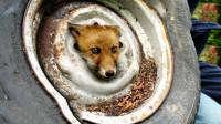 小狐狸头被车轮胎卡住, 被救5年后再见恩人, 场面感人