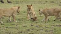 只因被狮子追了一下, 就决定独自单挑三只狮子, 气势比平头哥还强