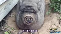 爆笑四川话配音: 成精的小动物上演动物版啥是佩奇, 笑的肚儿痛!