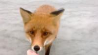 男子冰钓偶遇小狐狸, 想偷走他钓的鱼, 男子的做法暖心了!