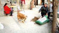 农村小慧: 做饭了, 金毛狗狗帮叼柴火, 最后叼的啥? 让人哭笑不得
