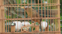 好鸟配好笼, 拥有一只爱唱歌的画眉鸟, 真让人高兴!