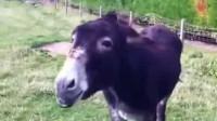 男子骗驴吃了一根辣椒, 接下来的画面, 请你憋住别笑!