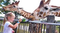 萌娃小可爱在动物园里遇到了萌萌的长颈鹿, 萌娃: 它们的脖子真是名不虚传呢!
