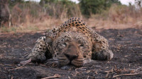 参加这么残忍的狩猎活动, 良心上真过得去吗?