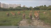老虎也成群, 真是威武、霸气、壮观!
