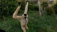 女孩送给长臂猿一幅画, 长臂猿的反应让人特别暖心啊