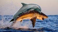 为什么鲨鱼不敢猎捕海豚? 鲨鱼: 我是小弟中的老弟!