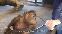 给大猩猩变魔术, 看看它们的反应, 实在是太搞笑了!