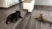 """土豪养了这么两只""""猫"""", 小偷万万是不敢进他家门!"""