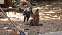 """猴子把鸡当成了""""宠物"""", 每天抱着不放, 主人知道后说出了实情!"""