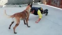 这是一只有纪律性的狗狗, 送去当警犬绝对没问题
