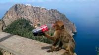 猴子抢走游客手中的可乐, 刚喝了几口, 下一秒意外发生了