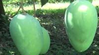 找到芒果和苹果了, 芒果颜色很多哟, 有红有黄还有青, 可好吃了
