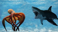 巨型章鱼捕食鲨鱼? 这个北太平洋的罕见画面, 被镜头记录了下来