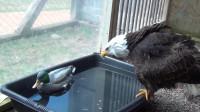 老鹰捕猎抓到只假鸭子, 叼上岸发现被骗后, 表情亮了