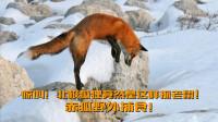 惊叫!北极狐狸竟然是这样抓老鼠,赤狐野外捕食,孤独旅行家北极探险